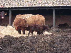 A newborn calf and mum